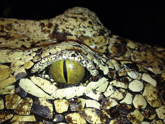 Two-Headed Crocodile - sarah lee's portfolio